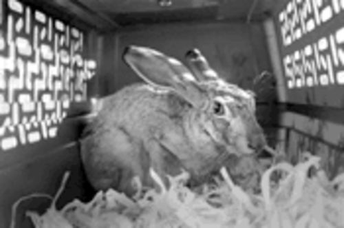 A rabbit rescued from Miami International Airport awaits release into the safety of a sanctuary in Hutchins.