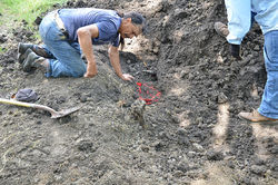 Arby Little Soldier excavates the white buffalo carcass for investigators.