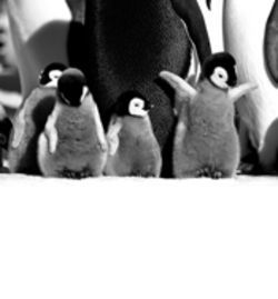 March of the Penguins: They're cute, plus we hear they make good eatin'.