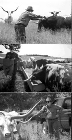 Top: Dameron inspects one of the longhorn bulls on his ranch near Forestburg, Texas. Middle and bottom: Dameron surveying and feeding the longhorn herd on his ranch.