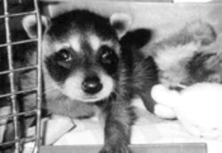An orphaned raccoon