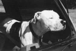 Jake, a Dogo Argentino, made the rounds, eliciting sympathy--and money and affection--from a string of women who fell for Haberman.