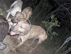 A pack of hog-hunting dogs swarms its quarry.