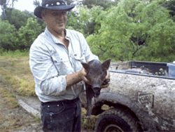 Wild hog trapper Tim Scholz with a catch