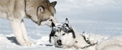 Dog daze: The canines of Eight Below are, hate to say it, grrrreat.