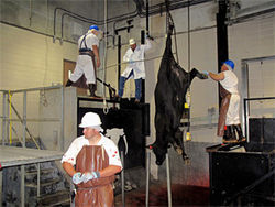 The cattle are stunned, then hung and bled&amp;#151;the heart needs to keep beating to clear all the blood out of the carcass.