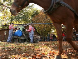At the Henderson Heritage Syrup Festival, a mule turns an old-fashioned cane press to make cane juice.