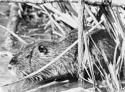 Nutria can survive in lakes where little else can, and they reproduce and look like rats—giant ones, anyway, with sharp orange buck teeth.