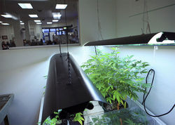 Cannabis plants grown by students at Oaksterdam University, a trade school for the cannabis industry, are shown at the school in Oakland,  California, July 23, 2009. Students are educated on marijuana law and  cultivation techniques and are on the forefront of a new industry as  cities like Oakland look to tax medical marijuana dispensaries.